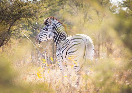 botswana: Zebra in Botswana, Africa with black and white stripes