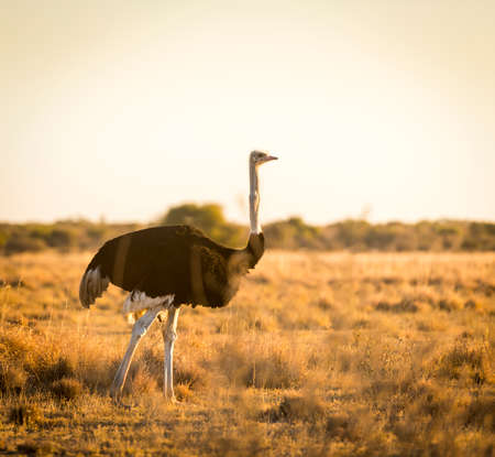 birds desert: Beautiful Ostrich stands on the plains at sunset in Botswana, Africa