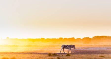 botswana: Zebra at sunset in Botswana, Africa with beautiful sunset light