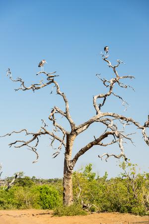 african stork: Marabou Stork birds (Leptoptilos crumenifer) perched on a dead tree against a blue sky in Botswana, Africa