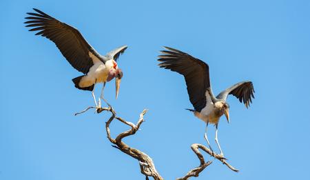 african stork: Marabou Stork birds (Leptoptilos crumenifer), often called Undertaker Birds, in flight against a blue sky in Botswana, Africa
