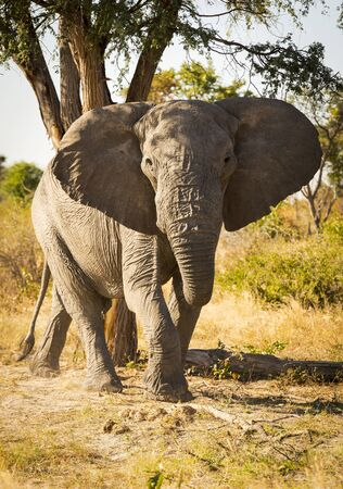 big ear: Large African Elephant portrait with ears out wide in Botswana, Africa