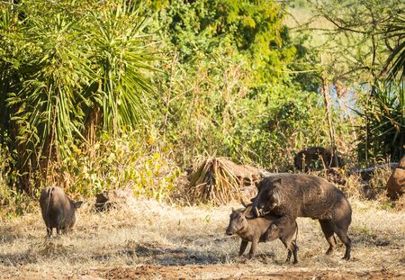 Two wild Warthogs mating in Botswana, Africa