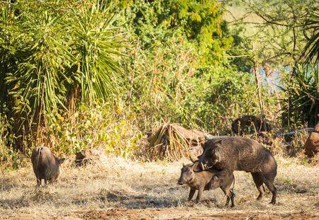 animal sex: Two wild Warthogs mating in Botswana, Africa