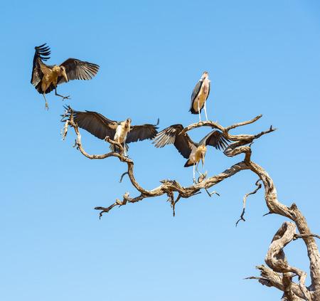 african stork: Marabou Stork birds (Leptoptilos crumenifer) in flight against a blue sky in Botswana, Africa Stock Photo