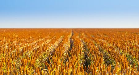 sorgo: Los granos de sorgo que crecen en los campos sin fin listo para la cosecha
