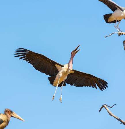 often: Marabou Stork birds (Leptoptilos crumenifer), often called Undertaker Birds, in flight against a blue sky in Botswana, Africa