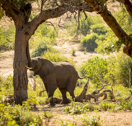 chobe national park: Elephant in Chobe National Park, Botswana, Africa with its trunk against a tree Stock Photo
