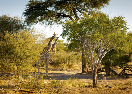 chobe national park: Giraffe with long neck in the wild near Kasane in Botswana, Africa Stock Photo
