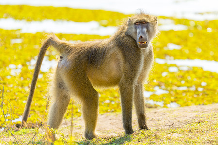 chobe: Cape Baboon or Chacma Baboon in Botswanas Chobe National Park in Africa