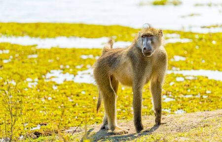 chobe: Chacma Baboon or Cape Baboon in Botswanas Chobe National Park in Africa