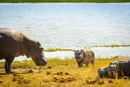 familias jovenes: familia Hipopótamo en la orilla del mar en el Parque Nacional de Chobe, Botswana, África