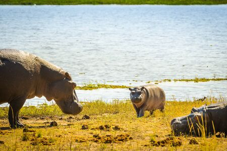 chobe national park: Hippopotamus family at the waters edge in Chobe National Park, Botswana, Africa Stock Photo