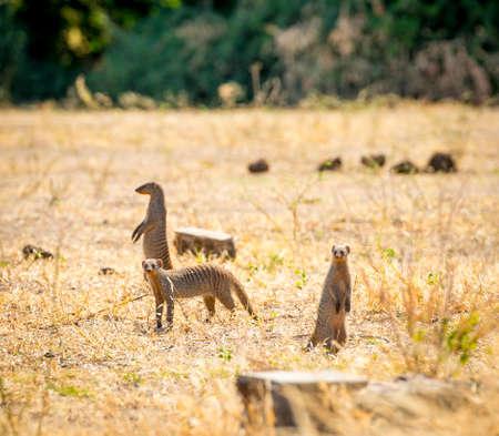 suricatta: Meerkats in the Chobe National Park, Botswana, Africa