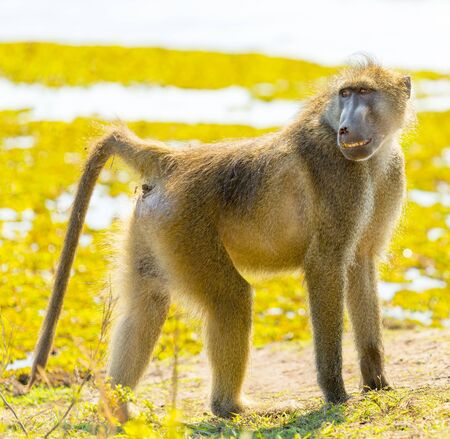 Cape Baboon or Chacma Baboon in Botswanas Chobe National Park in Africa
