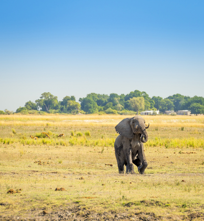 chobe national park: Elephant walking through the Chobe National Park, Botswana, Africa