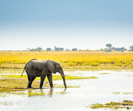 chobe national park: Elephant walking through the Chobe National Park, Botswana, Africa
