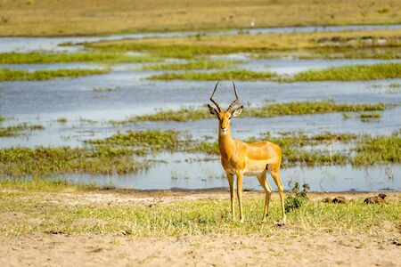 Impala standing on the bank of the Chobe River in Botswana, Africa