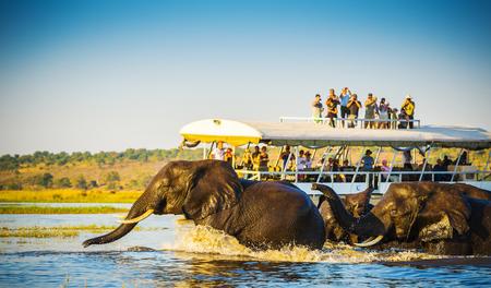 African Elephants swimming across the Chobe River, Botswana with tourists on safari watching on