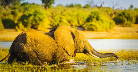 Young Elephant wades through the Chobe River in Botswana, Africa at sunset