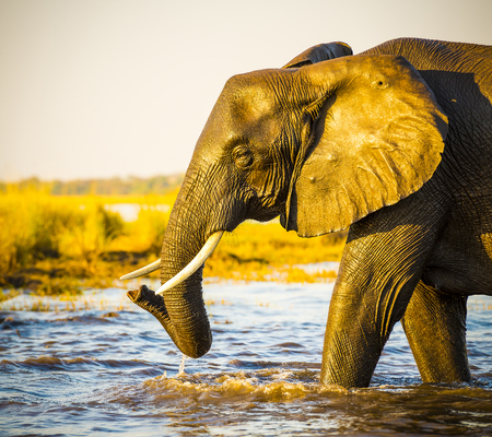 animal ear: Portrait of an adult African Elephant wading through water in the Chobe National Park, Botswana, Africa