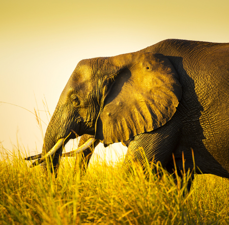 animal ear: Elephant walking through long grass on the plains of Africa at sunset