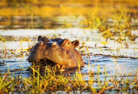 chobe national park: Hippopotamus or hippo in the Chobe River in Chobe National Park, Botswana, Africa