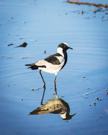 pied: African Pied Wagtail bird walking on the water on the Chobe River, Botswana, Africa