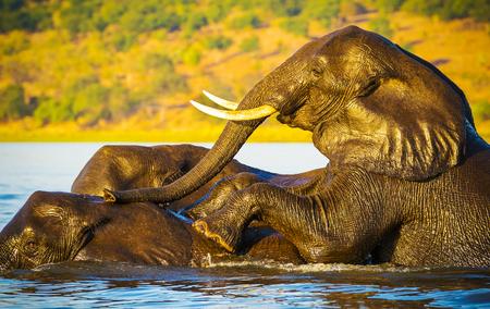 botswana: Young Elephants swimming across the Chobe River, Botswana, Africa