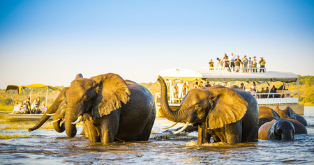 chobe national park: African Elephants swimming across the Chobe River, Botswana with tourists on safari watching on