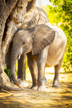 animal ear: Baby elephant in the wild at Chobe National Park, Botswana, Africa