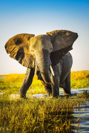 animal ear: Elephant half wet in sunset light in Africa getting ready to charge Stock Photo