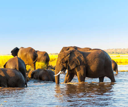 animal ear: Elephant herd in Africa at the Chobe River, Botswana Stock Photo