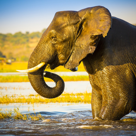 Portrait of an adult African Elephant wading through water in the Chobe National Park, Botswana, Africa