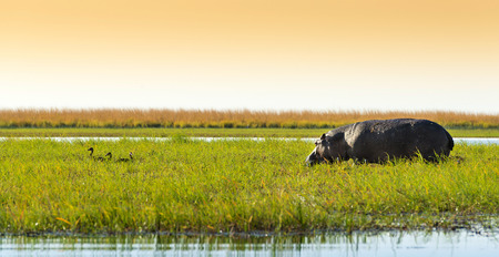 chobe national park: Hippo or Hippopotamus in the wild in Chobe National Park, Botswana, Africa
