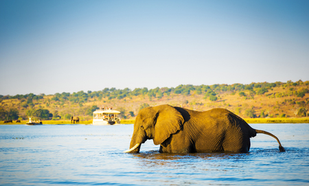 wading: Large elephant wading across the Chobe River in Botswana, Africa at sunset