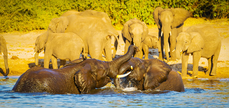 calves: Young baby elephant calves playing and splashing in Chobe River Stock Photo