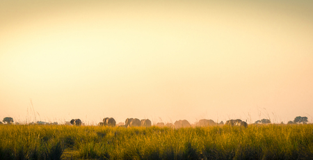 animal ear: Herd of elephants from behind walking away on the African plains