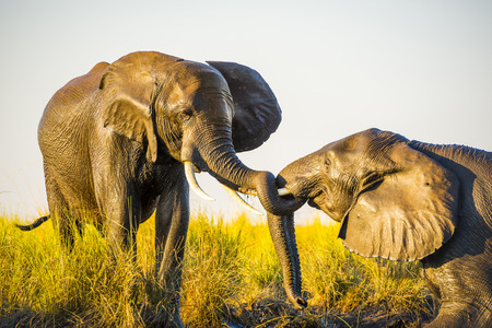 riverbank: Elephants young and old playing in the mud on riverbank at sunset in Botswana
