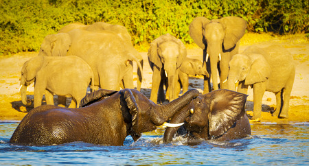 animal ear: Young baby elephant calves playing and splashing in Chobe River Stock Photo