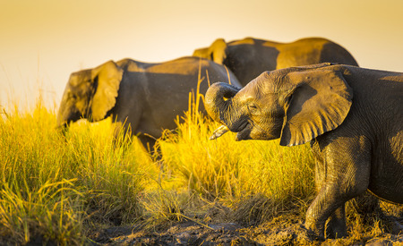 animal ear: Elephants young and old playing in the mud on riverbank at sunset in Botswana
