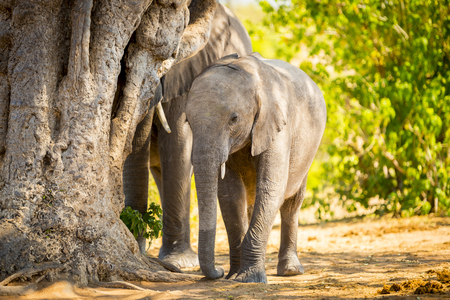 animal ear: Young Elephant calf at the edge of herd in the wild in Botswana, Africa
