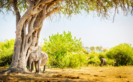 animal ear: Baby Elephant hiding under a tree with parent behind in the wild Stock Photo