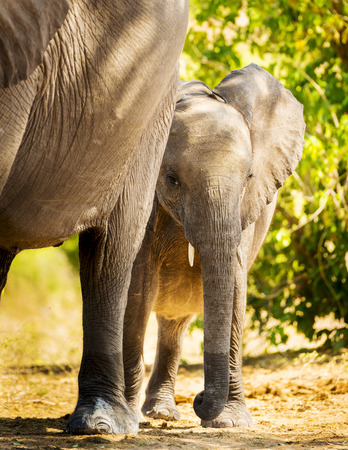 animal ear: Baby elephant calf standing with its mother in the wild in Botswana, Africa