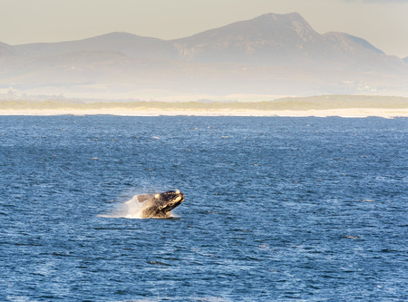 Southern Right Whale breaches on Western Cape coastline, South Africa Stock Photo