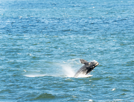 Southern Right Whale jumps out of water Stock Photo