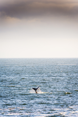 baleen whale: Southern Right Whale tail with ocean horizon Stock Photo