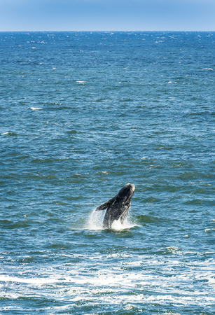 breaching: Southern Right Whale breaching from ocean