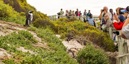 CAPE TOWN, SOUTH AFRICA - SEPTEMBER 1: Unidentified people watching an African Penguin (spheniscus demersus) as it poses for photographers at Boulders Beach on September 1 2015 in Cape Town, South Africa.