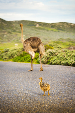ostrich chick: Ostrich chick and mother cross the road at the Cape of Good Hope, Cape Peninsula, South Africa